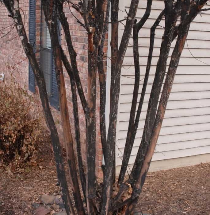 Why are My Crape Myrtles Black?