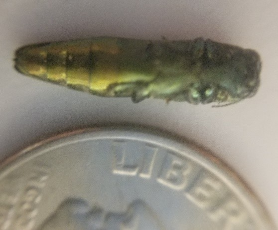 Emerald Ash Borer – It is Here and Active in Denton County
