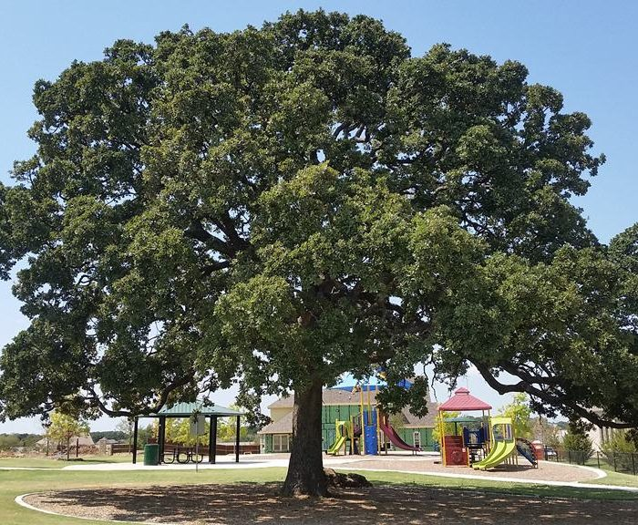 Beautiful Post Oak in Flower Mound