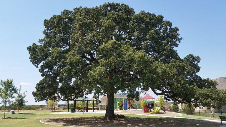 Beautiful oak in Flower Mound