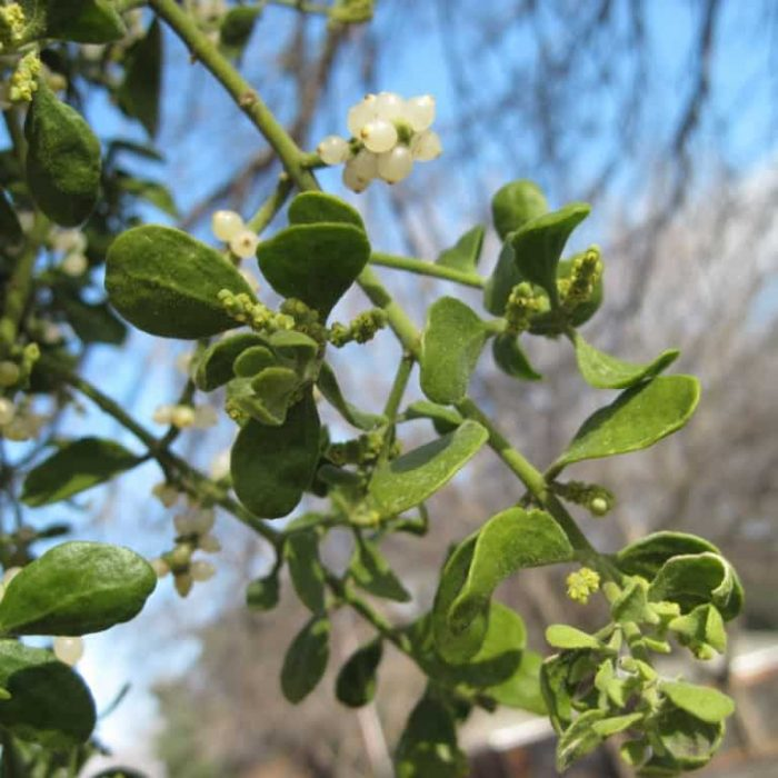 Mistletoe – 'Tis the Season to Remove It