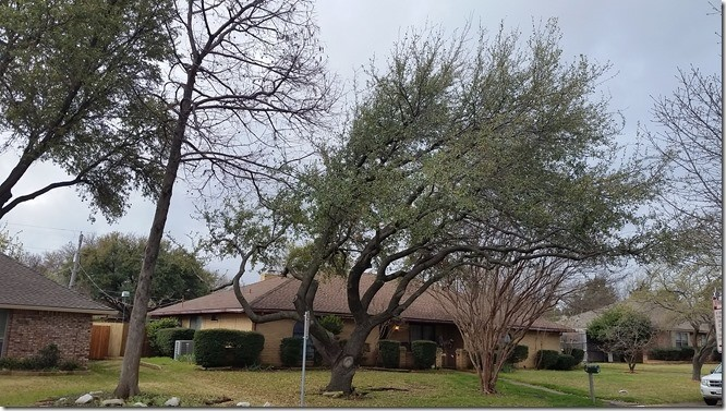 Live Oak – A Wonderful Tree But Not Always the Best Choice