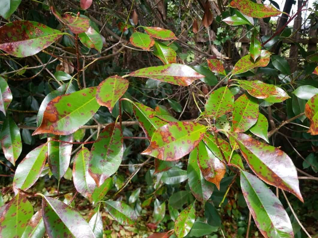 What's wrong with my Photinias?
