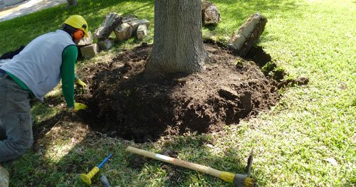 Root Flare Excavation services as Plant Health Care