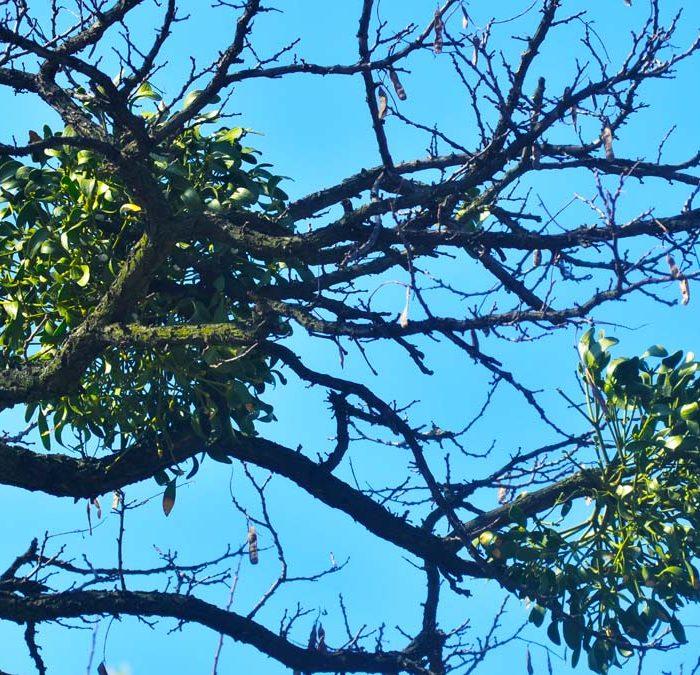 Can Mistletoe Kill Trees?
