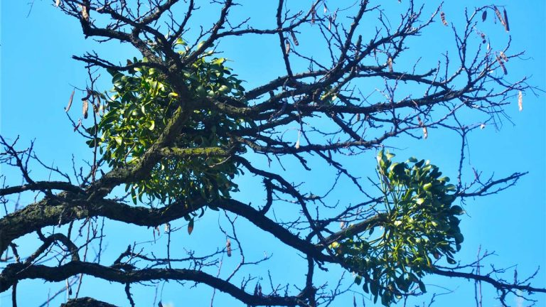 Mistletoe shrubs