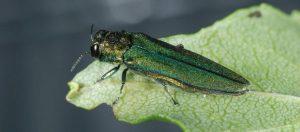 Emerald Ash Borer USDA photo