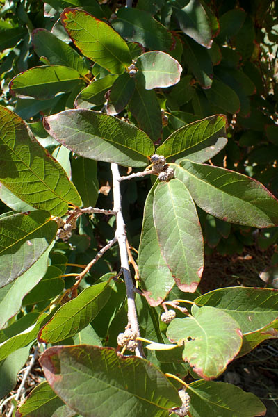 Mexican White Oak leaves and acorns
