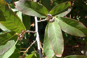 Quercus polymorpha leaf