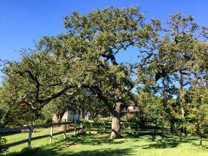 Post Oak in Texas